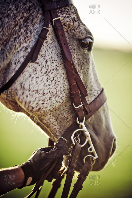 Polo player holding onto horse's reigns