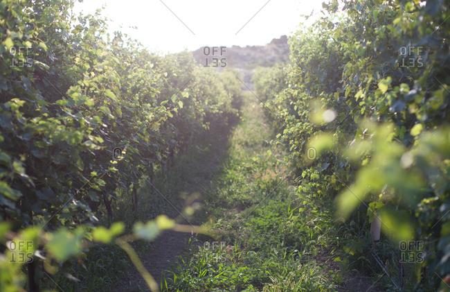 Sunlight over a vineyard in summer