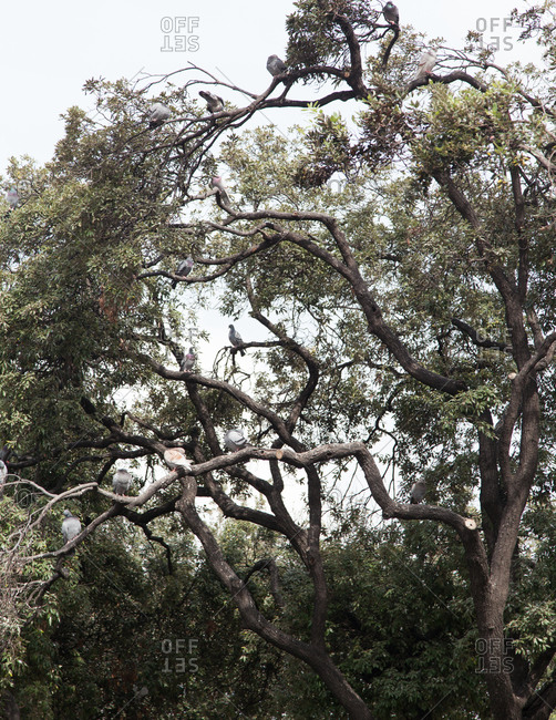 Pigeons roosting on gnarled tree branches