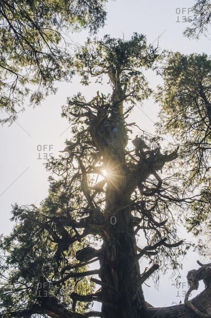 Sun shining through a large gnarled tree