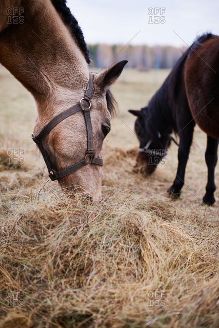 Horse and foal eating hay