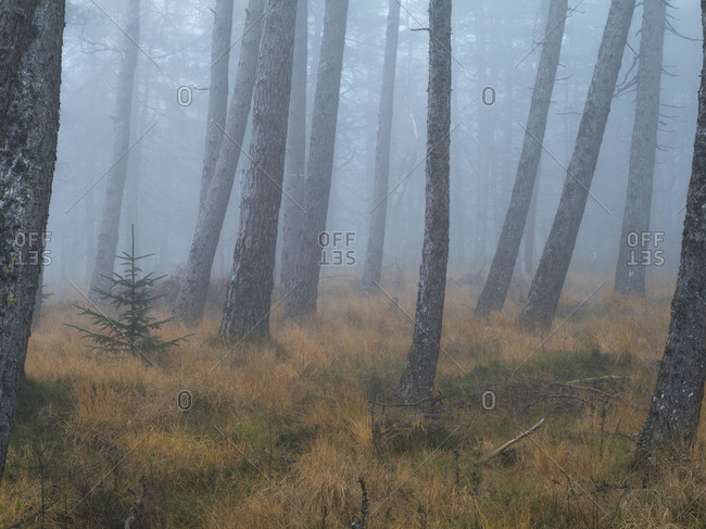 Foggy forest in Scotland