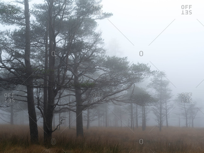 Trees in a foggy forest in Scotland