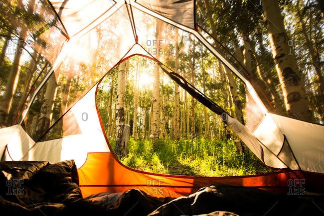 An Aspen grove as seen from the inside of a tent