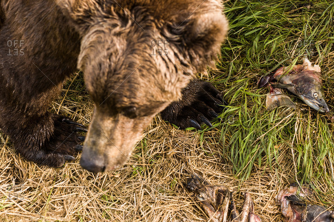 Grizzly Bear and Salmon head leftovers