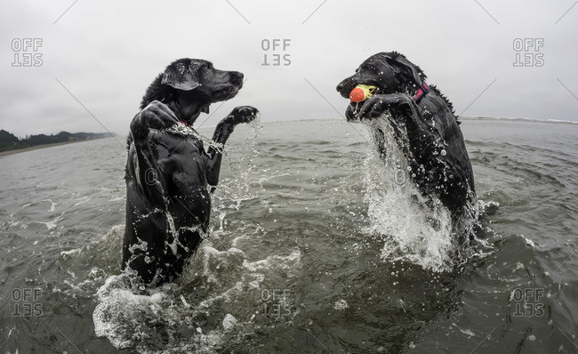 Two dogs play in the water