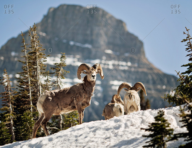 Bighorn Sheep stand in a snowfield at Logan Pass in Montana's Glacier National park