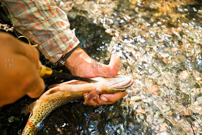 A fly fisherman cleans a brown trout in a Yampa, Colorado river.