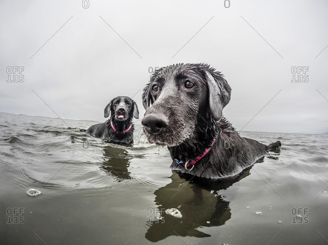 Two dogs play in the water of the pacific ocean at Pacific Beach, WA.