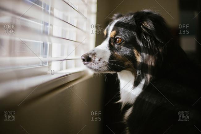 Australian shepherd looking out window blinds