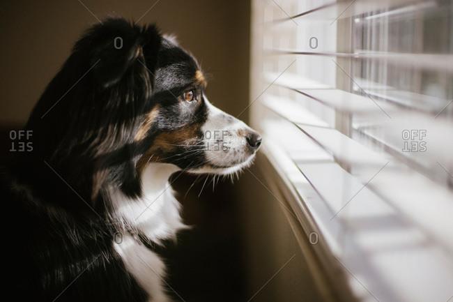 Australian shepherd gazing out window blinds