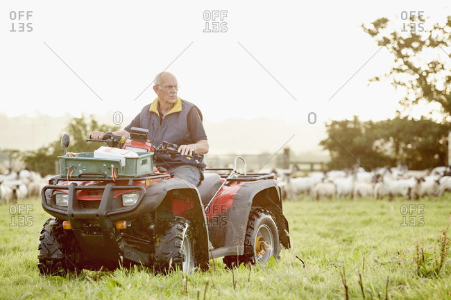 A farmer on a quad bike in a field, with a large flock of sheep behind him