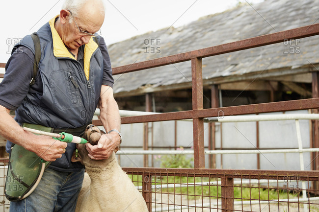 A farmer in overalls holding a sheep and delivering a treatment in his mouth with a trigger dispenser
