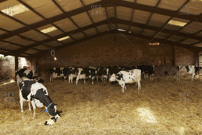 A herd of cows under cover in a barn feeding on hay, one nuzzling a calf