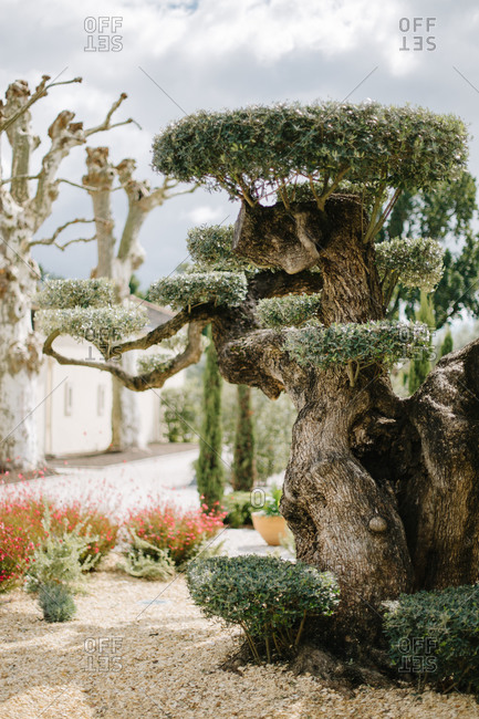 Gnarled tree with sculpted foliage in formal garden