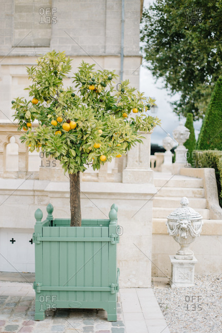 Potted fruit tree in formal mansion gardens
