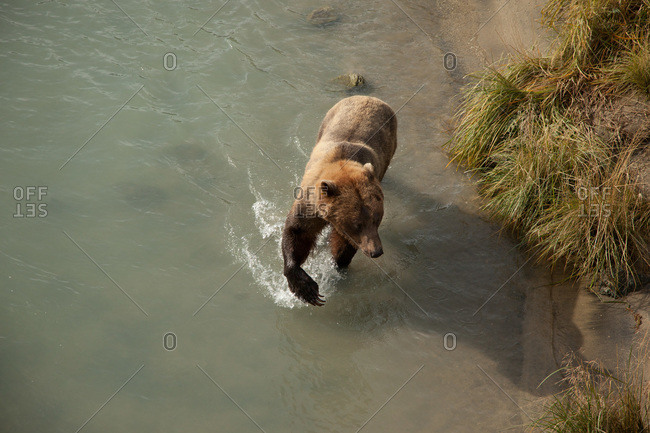 Overhead view of a North American brown bear in river in Alaska