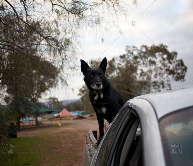 Alert black dog in back of pickup truck