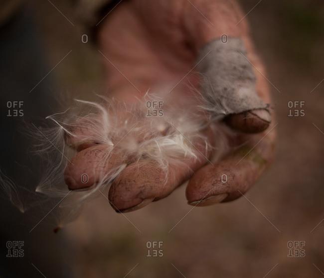 Close-up of man's hand with bandaged thumb holding milkweed fluff
