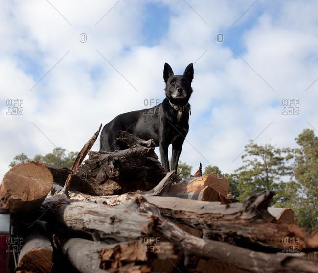Alert black dog standing on a load of wood in back of pickup truck