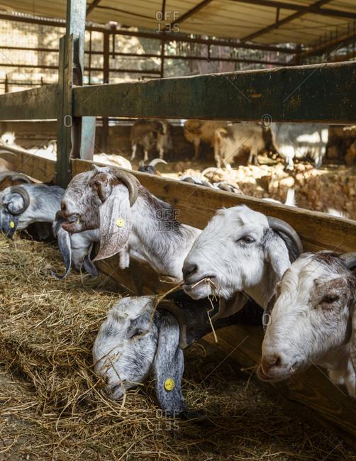 Goats feeding on hay in barn at goat farm in Israel