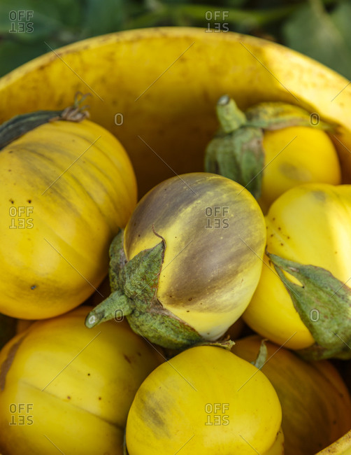 Closeup of freshly picked yellow eggplant in a pail
