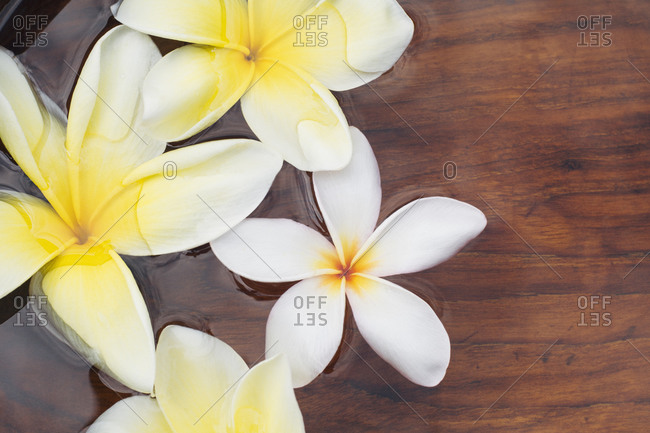 Frangipani blossoms floating on water