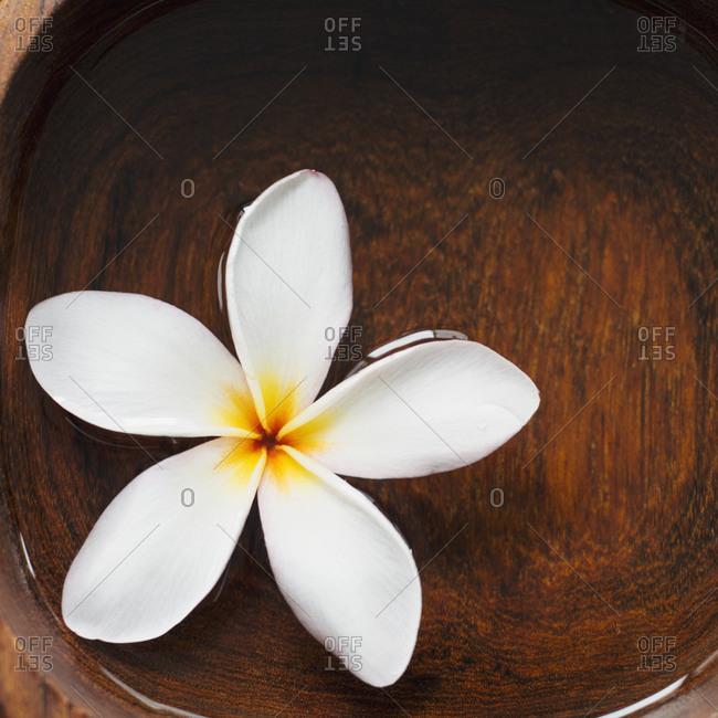 Single Frangipani blossom floating on water