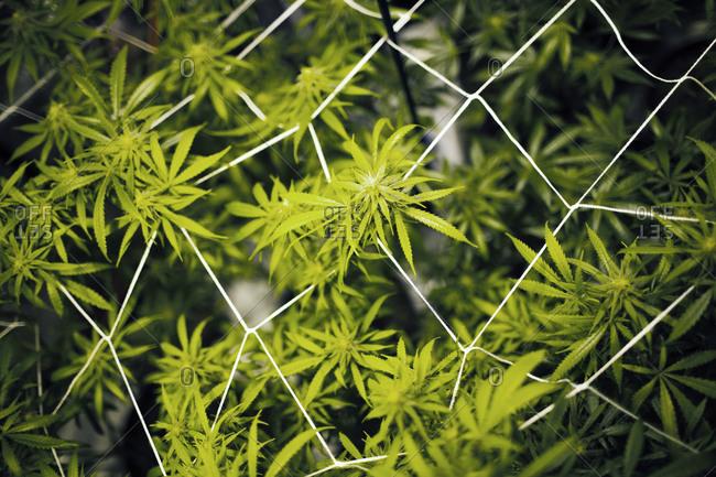 Close-up of marijuana plants - Offset