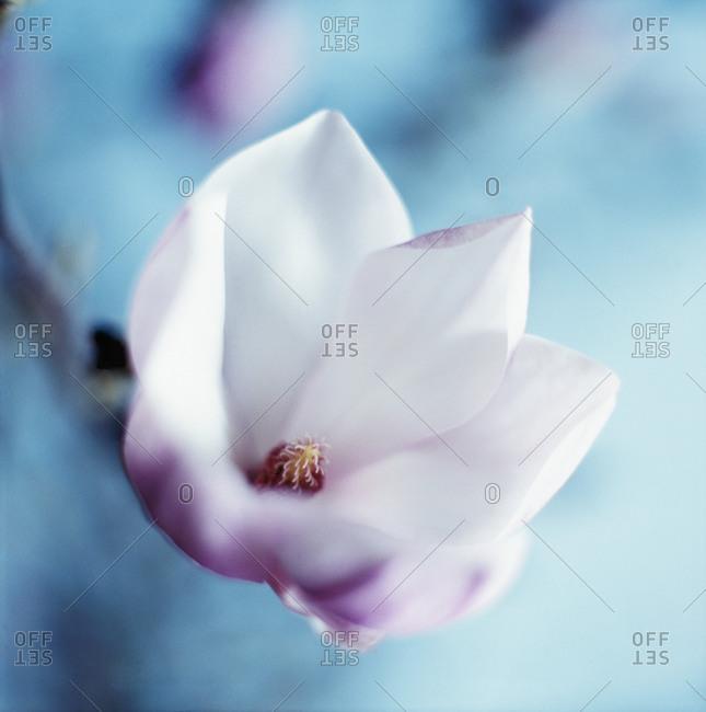 Close up of a magnolia flower