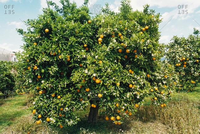 Orange tree in Spain