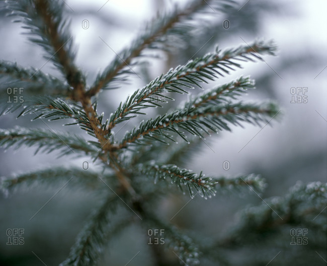 Needles on a Conifer Tree