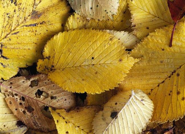 Elm leaves in autumn colors