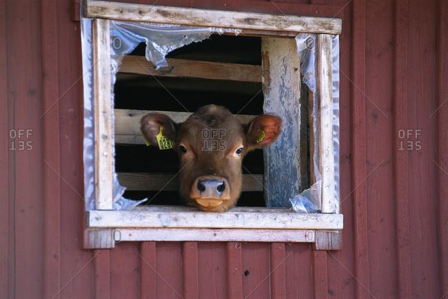 A calf in a window