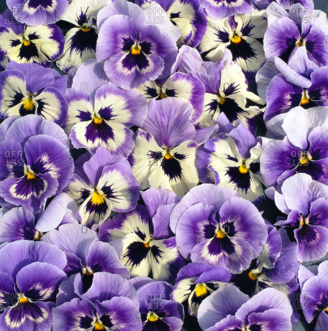 Violas, close up - Offset Collection