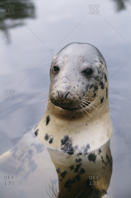 Seal in water, close-up