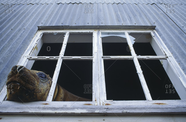 Animal peeping out of window