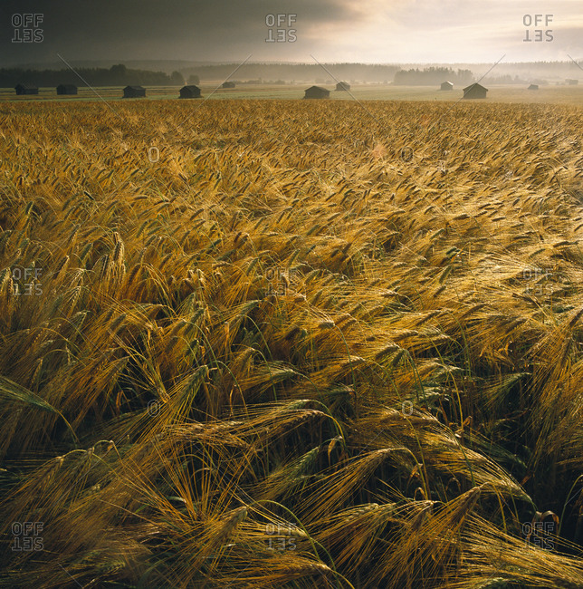 Storm over a field of barley