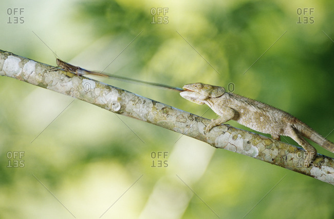 Chameleon catching insect, side view