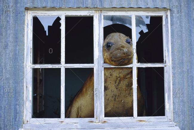 Seal peeping through window