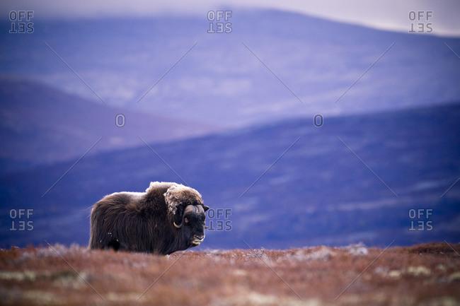 Muskoxen in mountain landscape in the autumn, Norway