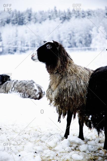 Sheep in wintertime