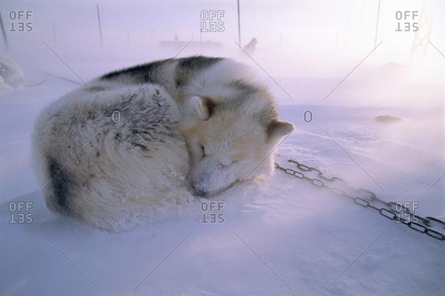 Draught dog resting