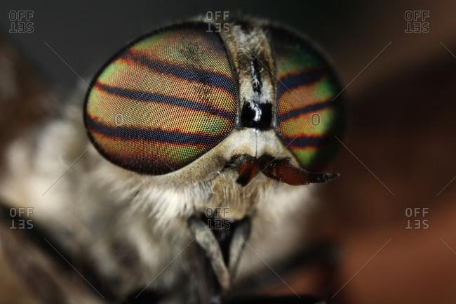 A horsefly, close-up, Sweden - Offset