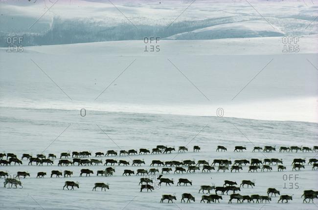 Reindeer walking in lines