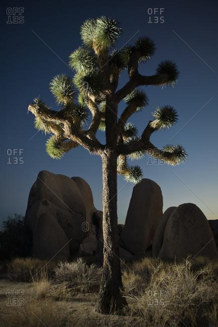 A knotty tree, California
