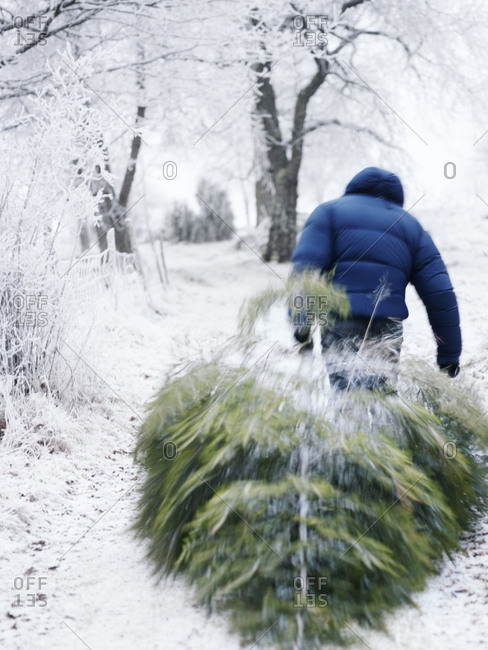 A man dragging a Christmas tree, Sweden