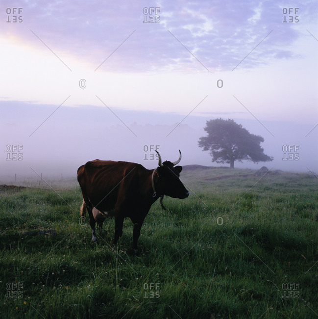 Cow standing in grassland