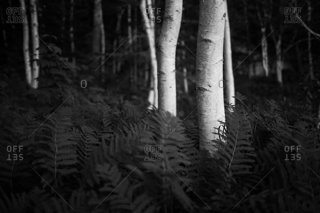 Ferns in a forest in Acadia National Park, Maine