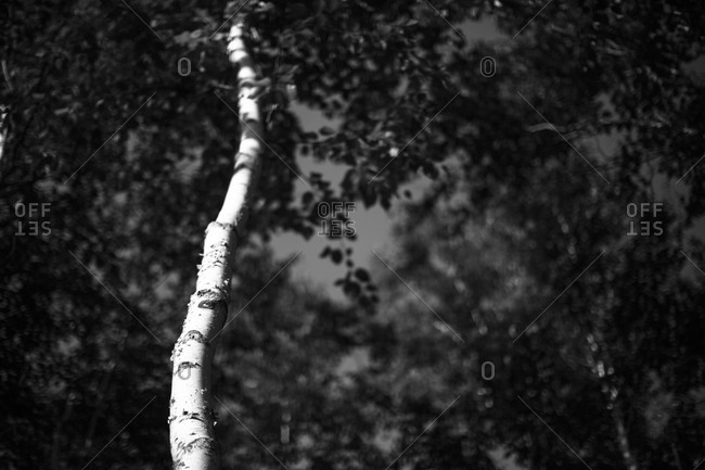 Birch tree in the sun in Acadia National Park, Maine